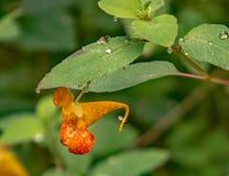 Capensis d'Impatiens d'†orange de Jewelweed « image stock
