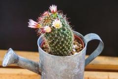 Capensis de Mammillaria Photos stock