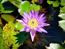 Capensis de Nymphaea : la fleur la plus belle du monde Photographie stock