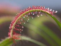 Capensis del Drosera, drosera del cabo, una planta insectívora Imágenes de archivo libres de regalías