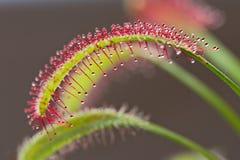 Capensis del Drosera, drosera del cabo, una planta insectívora Imagen de archivo libre de regalías