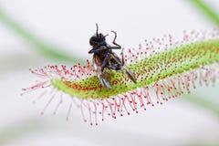 Capensis del Drosera che mangia una mosca immagine stock libera da diritti