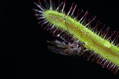 Capensis del Drosera che mangia una mosca fotografia stock libera da diritti