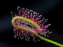 Capensis do Drosera Foto de Stock