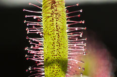 Capensis do Drosera, sundew do cabo, Imagens de Stock