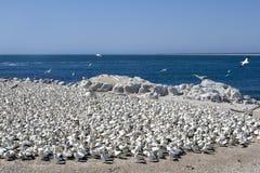 Capensis do Morus de Gannets do cabo Fotos de Stock Royalty Free