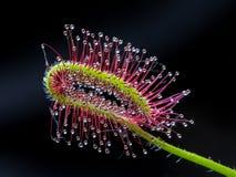 Capensis Drosera στοκ εικόνες