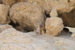 capensis góralka latin imienia procavia skała Obraz Stock