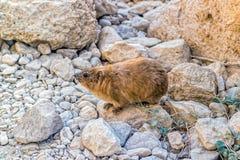 capensis góralka procavia skała Fotografia Royalty Free