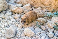 capensis góralka procavia skała Obrazy Royalty Free