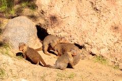 capensis góralka procavia skała Zdjęcie Royalty Free