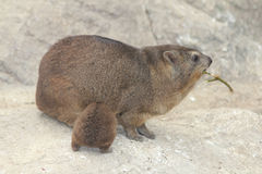 capensis góralka procavia skała Fotografia Stock