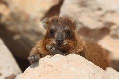 capensis góralka procavia skały Fotografia Royalty Free
