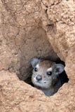 capensis hyrax λατινικός βράχος procavia ονόματος Στοκ Φωτογραφίες