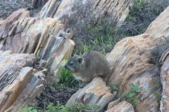 capensis hyrax λατινικός βράχος procavia ονόματος Στοκ Εικόνα