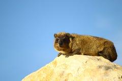 capensis hyrax βράχος procavia Στοκ φωτογραφία με δικαίωμα ελεύθερης χρήσης