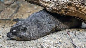 capensis hyrax λατινικός βράχος procavia ονόματος Στοκ Εικόνες