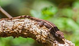 Capensis nano 1 di Lygodactylus del geco del capo Fotografia Stock