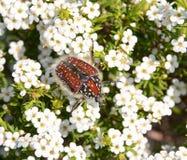 Capensis Trichostetha Στοκ εικόνα με δικαίωμα ελεύθερης χρήσης