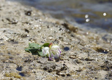 Caper bush blossoming with white and purple flower and small green berries, maltese flora, typical maltese plant in green backgrou. Nd.Malta flora Royalty Free Stock Photo