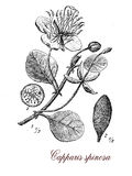 Caper bush, botanical vintage engraving Stock Photography