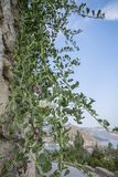 Caper bush grows from a brick wall in the background of mountain. Caper bush growing in a wall of stone stock photo