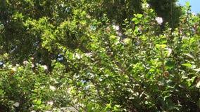 Caper bush mediterranean plant stock video