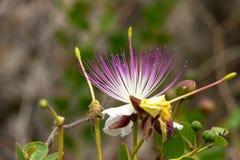 Caper bush Royalty Free Stock Image