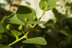 Caper (Capparis spinosa). Wild Caper (Capparis spinosa) plant royalty free stock image