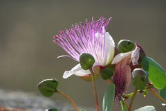 Caper flower. The flower in the plant of the caper (capparis spinosa Stock Photo