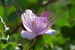 Caper flower. The flower in the plant of the caper (capparis spinosa Royalty Free Stock Photos