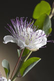 Caper flower. On brown background Royalty Free Stock Photo
