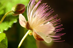 Caper flower. Caper blooming flower macro shot Royalty Free Stock Photos