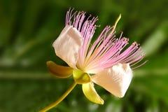Caper flower. Caper blooming flower macro shot Stock Image