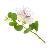Caper flower Stock Images