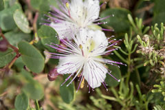 Caper flower in the Gozitan countryside, Malta. Caper flower in the countryside, Malta Stock Image