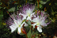 Caper flower Stock Photography