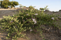 Caper plant. In sicily during summer Royalty Free Stock Photo