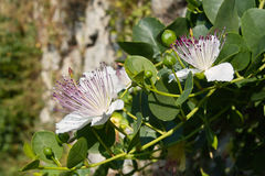 Caper plant in bloom. Plant, flowers and buds of the caper, Capparis spinosa, family Capparaceae Stock Photography