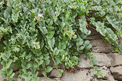 Caper plant on the wall Stock Image