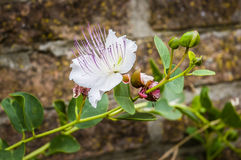 Caper's flower. A caper plant with flower and buds is growing on an old brick wall under the italian sun Royalty Free Stock Photography