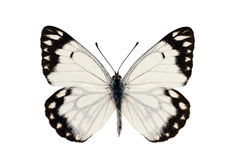 Caper White Butterfly. Or Caper Gull, Pale form, Belenois java, male, wingspan 55mm Royalty Free Stock Photography