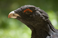 Capercaillie Stock Photos
