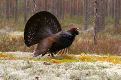 Capercaillie Royalty Free Stock Photos