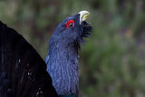 Capercaillie Tetrao urogallus adult male display Royalty Free Stock Photos