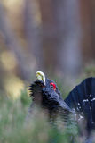 Capercaillie Tetrao urogallus adult male display Stock Images