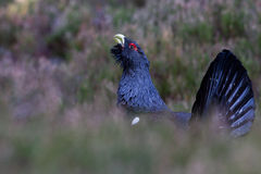 Capercaillie Tetrao urogallus adult male display Royalty Free Stock Photography