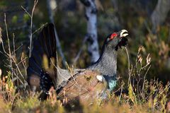 Capercaillie Tetrao urogallus male in the spring forest. The western capercaillie Tetrao urogallus. Lekking Capercaillie Tetrao urogallus male in the spring Stock Photography