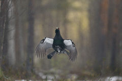Capercaillie, Tetrao urogallus Royalty Free Stock Images