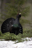 Capercaillie, Tetrao urogallus Royalty Free Stock Photo
